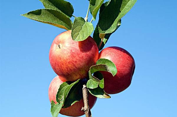 每个苹果携带1亿个细菌?为啥说这可能是件好事