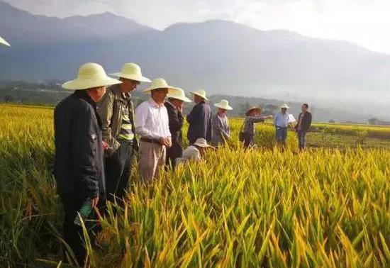 感谢袁隆平:我国超级稻大面积亩产达到1090公斤