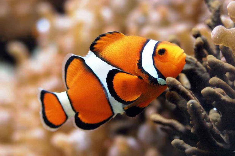 永远留在动画中!小丑鱼或将灭绝:繁殖方式无法适应气候变化